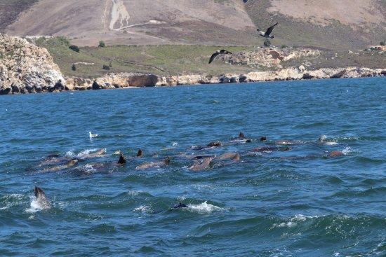 Central Coast Sailing Charters: The Sea Lions having a blast acting like dolphins