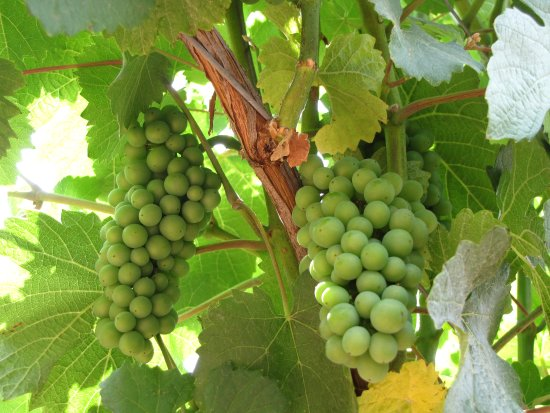 Carlton, OR: Early grapes at Lazy River Vineyard