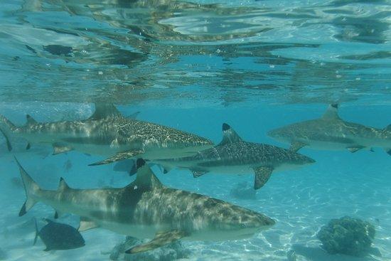 Papetoai, Polinezja Francuska: Swimming with sharks