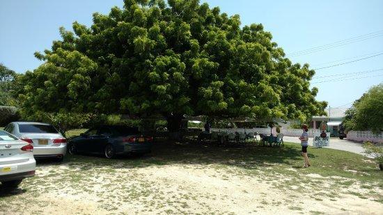 Gun Bay, Gran Caimán: The BIG TREE at Big Tree BBBG