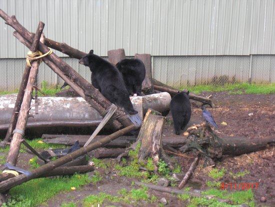 Sitka, AK: 3 black bears