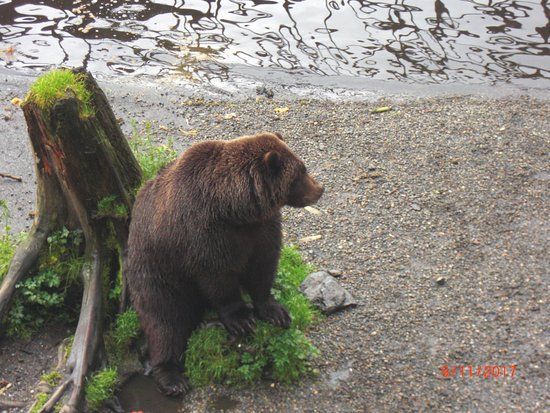 Sitka, AK: another grizzly out of the water