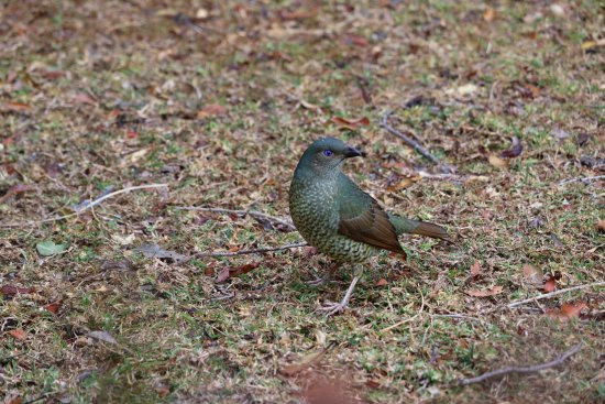 O'Reilly's Rainforest Retreat, Mountain Villas and Lost World Spa: Female Satin Bowerbird