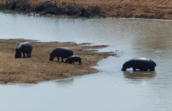 Timbavati Private Nature Reserve, Afrika Selatan: The resident family of hippos