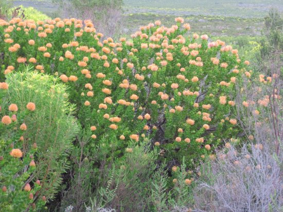 Overberg District, South Africa: Pincushions in all their glory
