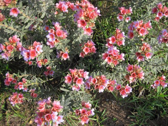 """Overberg District, South Africa: The """"agtdaegeneesbossie"""" - another beautiful flower with a beautifully descriptive name."""