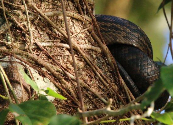 Daintree, Australia: scrub python I think !