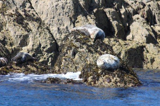 Port Erin, UK: Wild seals