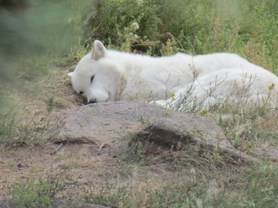 Gardner, CO: An arctic wolf taking a nap