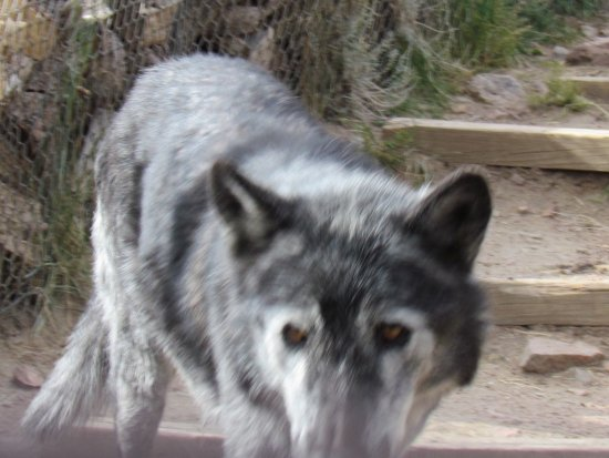 Gardner, CO: A Canadian timberwolf coming to say hello