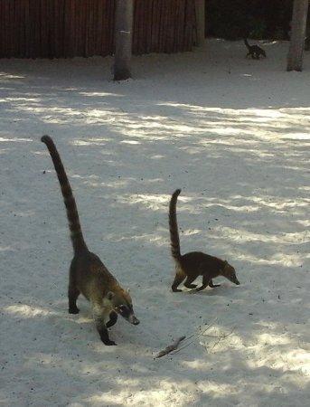 IBEROSTAR Paraiso Del Mar: Les fameux coatis