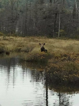 Greenville, ME: Moose Safari