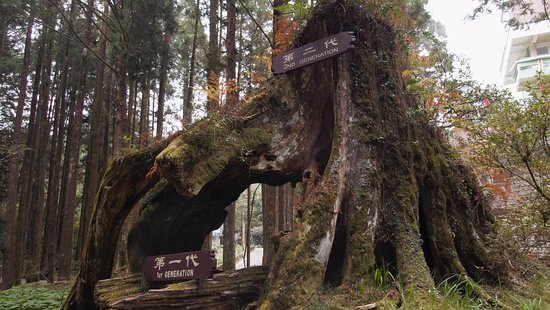 Chiayi County, Taiwan: ต้นไม้ 3 ชั่วโคตร