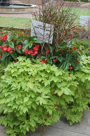 Pullman Square : Sweet potato vine (Ipomoea batatas) and dragon wing Begonias.