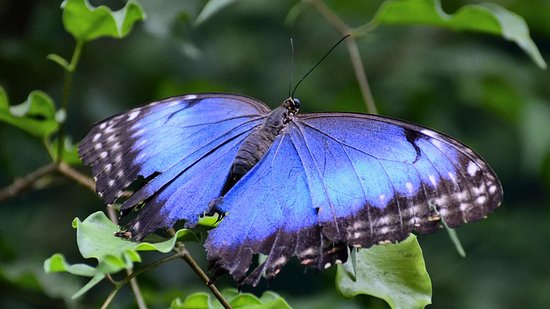 Westford, MA: The elusive Blue Morpho - doesn't often stop with its wings open for a photo shoot!