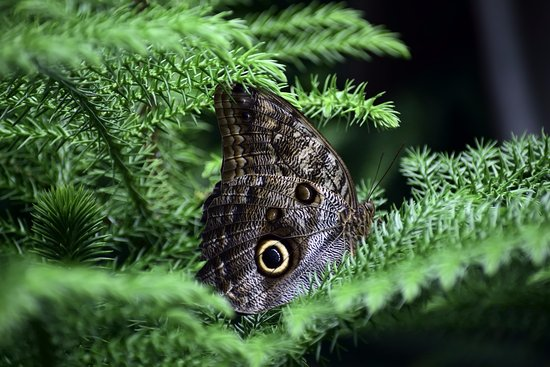 Westford, MA: The Owl Butterfly