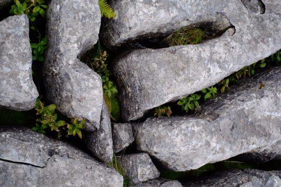 Malham Cove: Ferns in limestone rock cracks