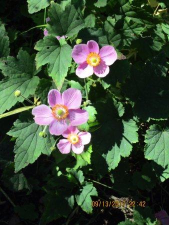 Linden Gardens: Anemone