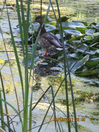 Linden Gardens: Duck on lily pads.