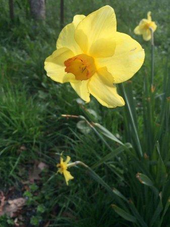 Hamilton, New Zealand: Many beautiful daffodils