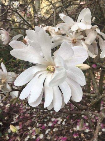 Hamilton, New Zealand: A type of Magnolia