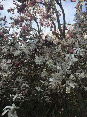 Hamilton, Nuova Zelanda: Glorious blossoms seen on this Magnolia tree