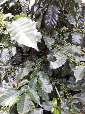 Poas Volcano National Park, Kosta Rika: Pé de café