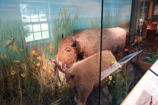 Saint Charles, IL: Buffalo display
