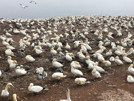 Perce, Canada: Northern Gannet Nesting Area