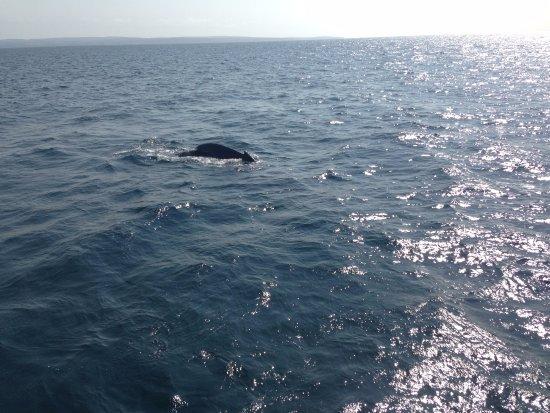 Busselton, Australie : Humpback whale