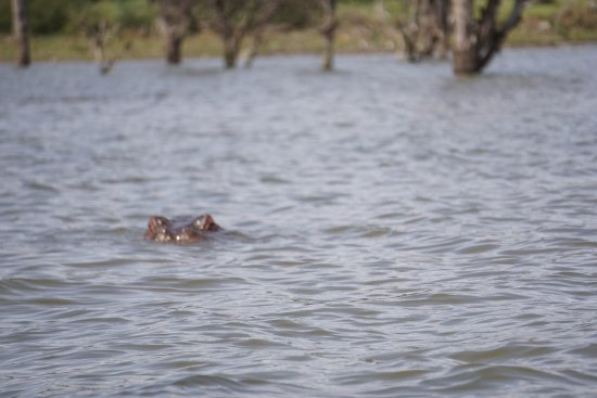 Rift Valley Province, Kenya: Hippo