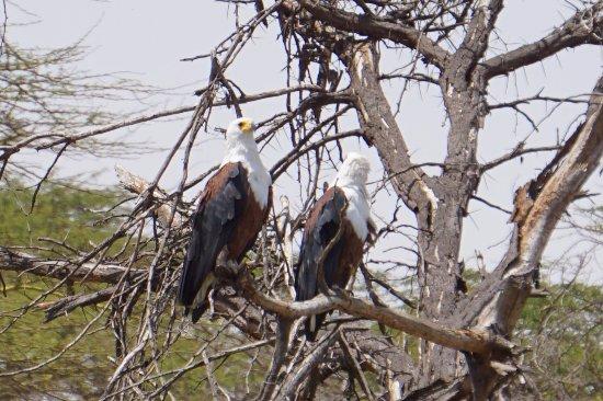 Rift Valley Province, Kenya: Bald Eagle