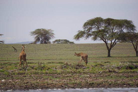 Provincia del valle del Rift, Kenia: Giraffes