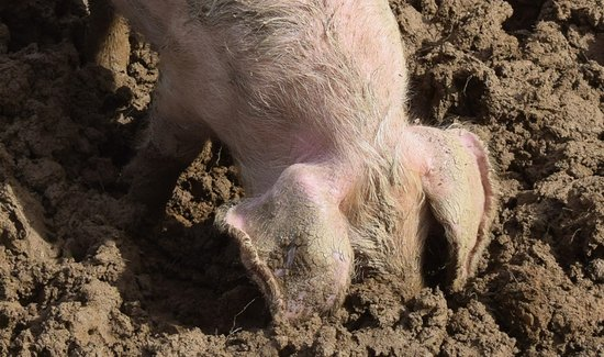 St Austell, UK: Happy as a pig in shi....