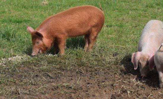 Сент-Остелл, UK: Pigs