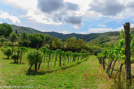 Paciano, Italia: The vineyard