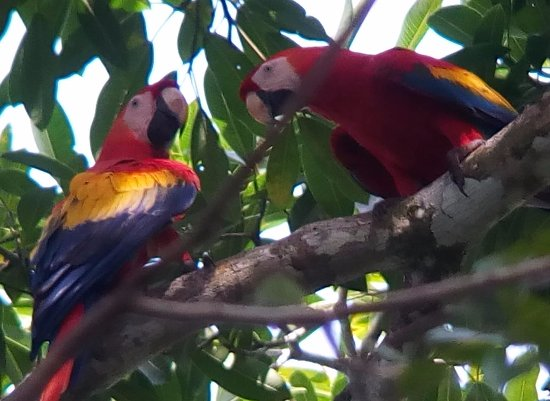 Drake Bay, Costa Rica: Preciosos, NUNCA deben vivir en una jaula o un zoo!!