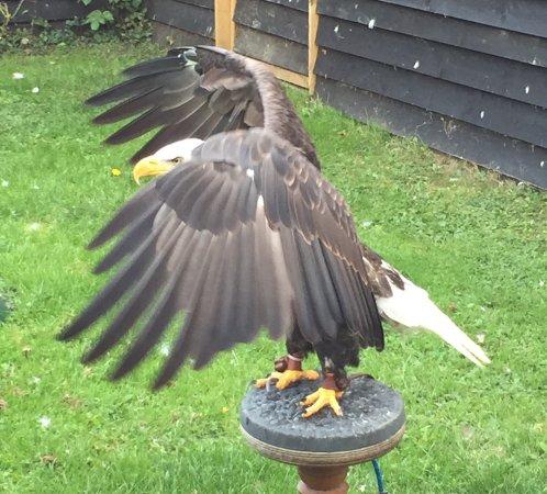 Stonham Aspal, UK: American Eagle spreading its wings