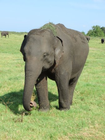 Kaudulla National Park : Elephant in Kaudulla