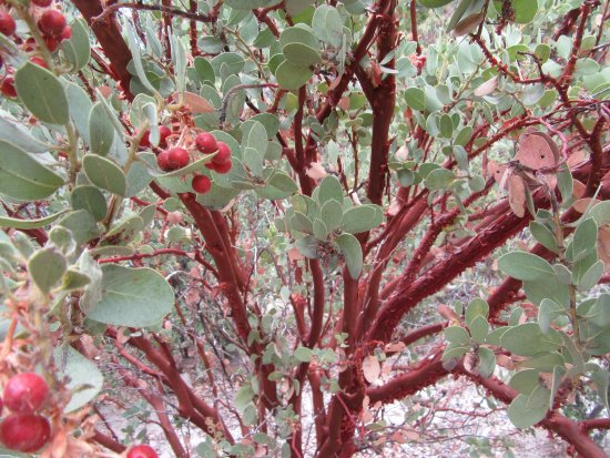 Idyllwild Nature Center: manzanita bush