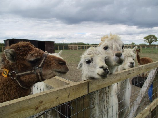 Halesworth, UK: A great bunch of llamas