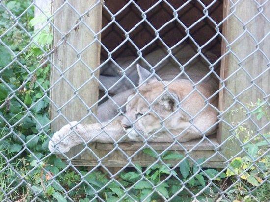 Pittsboro, NC: Star the Cougar.