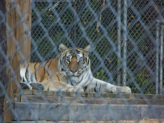 Pittsboro, NC: One of the Tigers