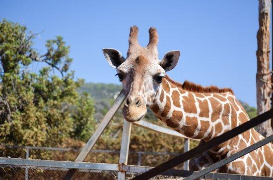 Pafos Zoo: Жираф.