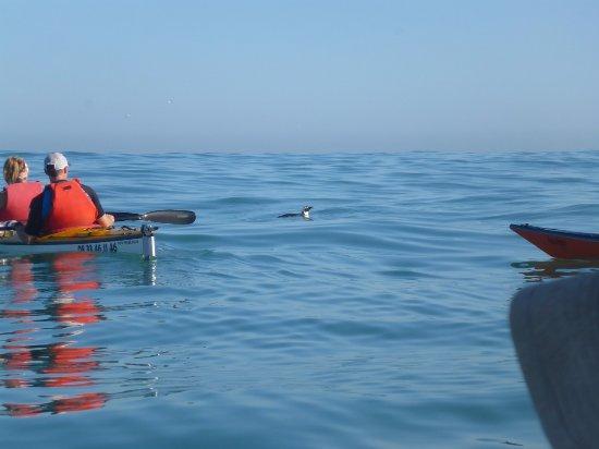 Kaskazi Kayaks & Adventures: the elusive penguin :-)