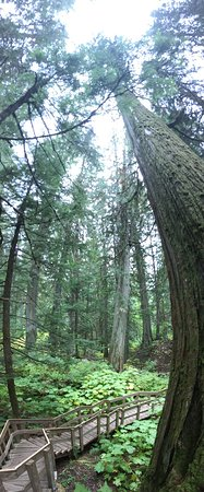 Giant Cedars Boardwalk Trail: Great to play with pano-settings