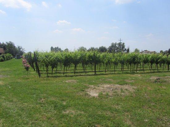Oderzo, Italia: Le vigne dell'azienda agricola