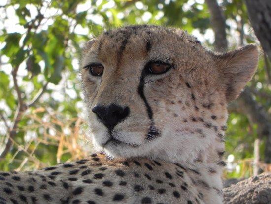 Sabie, Afrika Selatan: Cheetah resting.