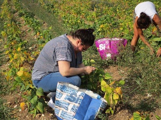 Montefalco, Italien: Picking beans