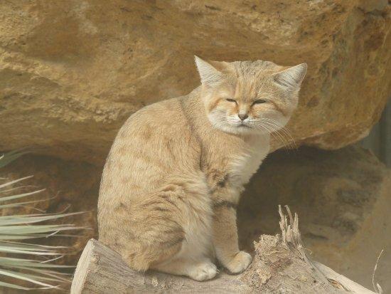 Le Parc des Félins : Chat des sables